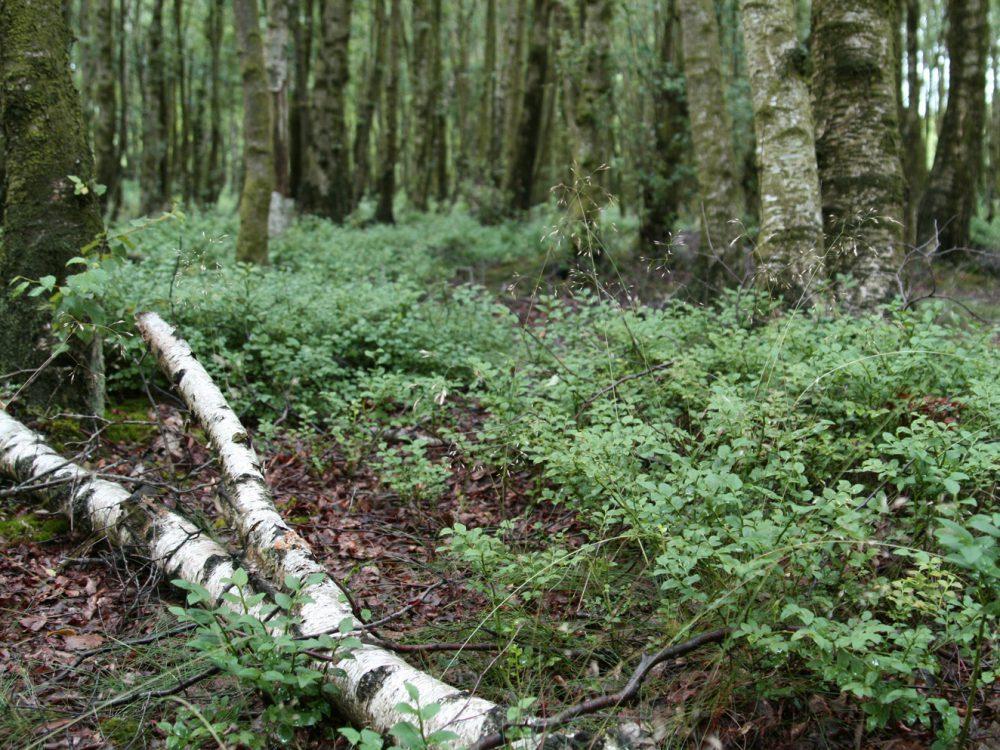 Flechten, Färben, Schnitzen: Birkenstämmchen im Wald