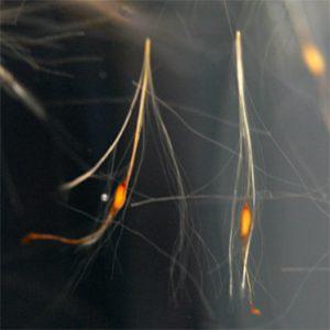 Rohrkolbensamen im Wasser