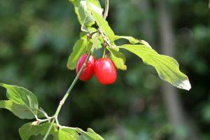 Früchte der Kornelkirsche