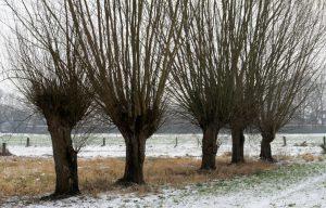 Kopfbäume im Winter