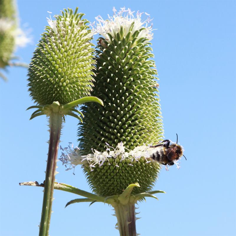 Blütenköpfe der Weberkarde im zweiten Jahr.